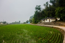Cycling through Rice fields