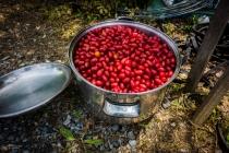 Picking Porisu berries for making jam