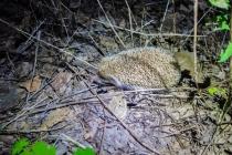 Hedgehog next to our tent!