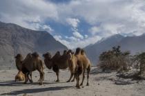 Tajik camels