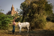 Kingdom of Bagan, boy is caring for his ox