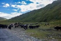 Herding yaks