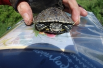 Another saved turtle from the road