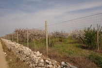 Stone walls and cherry blossom on the way to Rutigliano