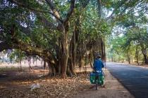 Great trees of Myanmar