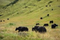 Yaks in the grasslands
