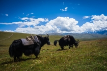 Yaks as transportation