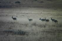 Gobi Deer