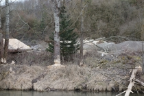 Trees eaten by beavers