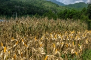 Drying corn in the field