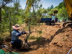 Replanting pine trees