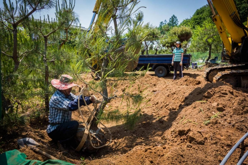 WWOOFing: Lifting pine tree out of the sand